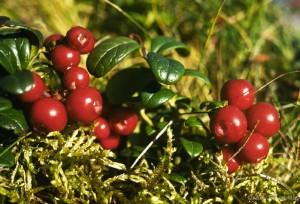 Блюда из болотных ягод