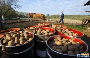 Белорусы сажают картофель