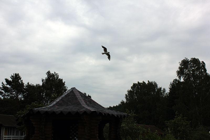 Чайки на озере Дривяты в этот день летали низко