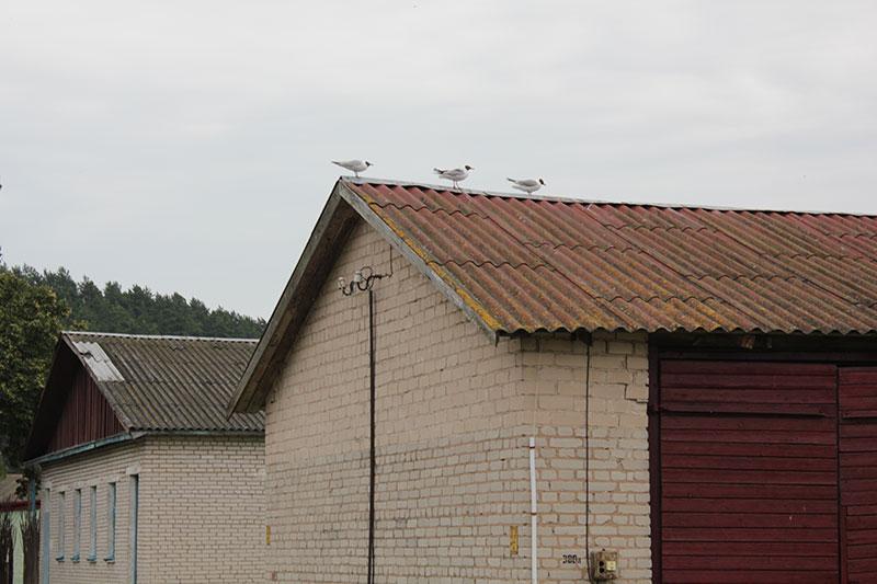 Чайки на здании проката на турбазе «Браславские озёра»