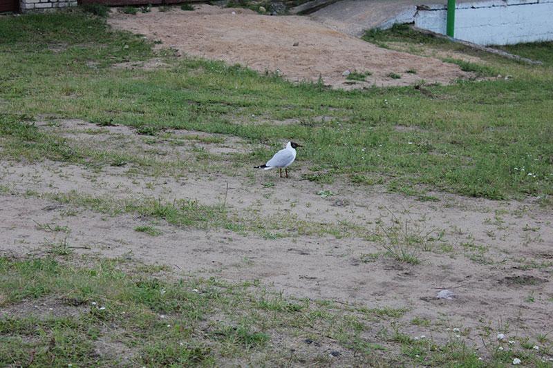 Чайка на берегу озера Дривяты. Очень смелая. Совсем не боится людей. Удалось приблизится к ней на какой-то метр, и только после этот птица вспорхнула и переместилась в безопасное место.