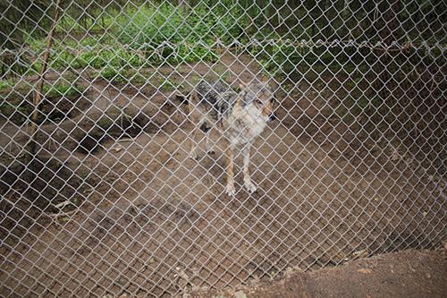 «Волк - зубами щёлк». Одинокий обитатель первого вольера