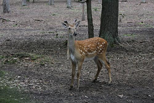 Оленёнок «Бэмби». Стадо прекрасных молодых оленей разместилось в лесополосе