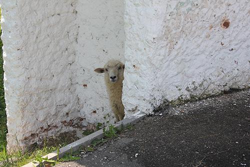 «Ах, ты, бедная овечка...»